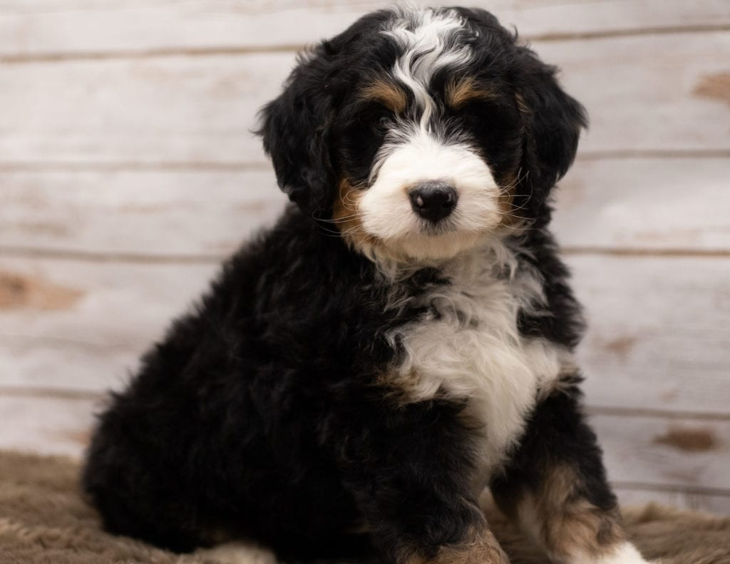 A picture of a Ian, one of our Standard Bernedoodles puppies that went to their home in Wisconsin
