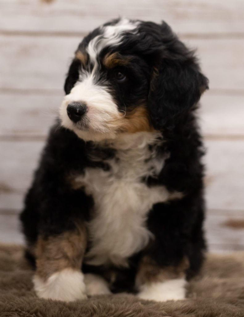 Ian came from Kiaya and Bentley's litter of F1 Bernedoodles