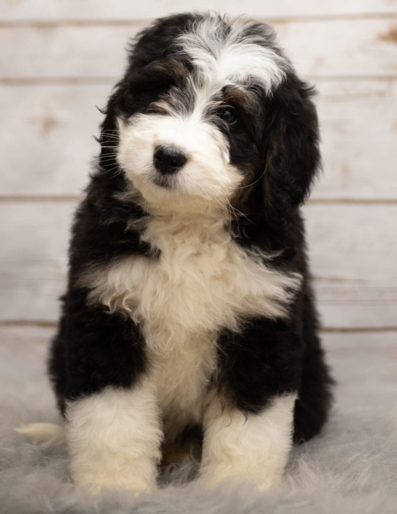 Izzy came from Kiaya and Bentley's litter of F1 Bernedoodles