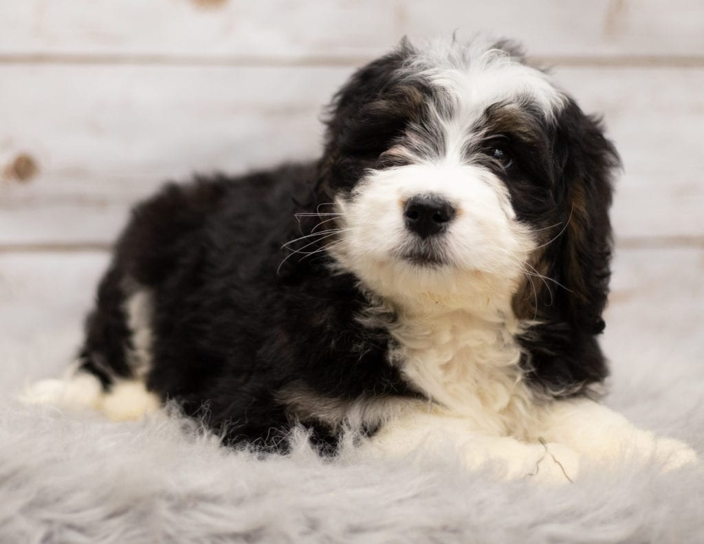 Izzy was born on 12/12/2018 and is a Iowa Bernedoodle