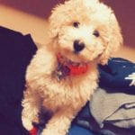 Mini Parti goldendoodle