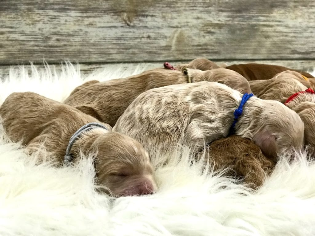 These Goldendoodles were bred by Poodles 2 Doodles, their mother is Tatum and their father is Teddy