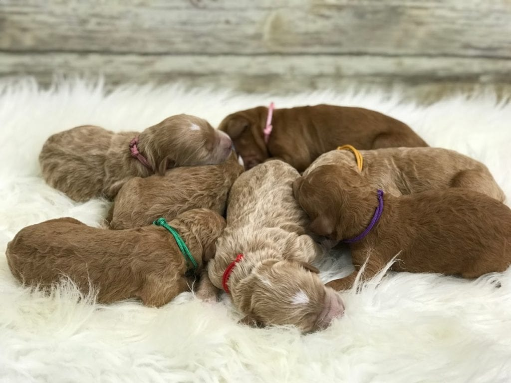 Mini Goldendoodles with red and white abstract markings . These Goldendoodles are of the F2B generation. For more info on generations, view our specific breed page for Goldendoodles.
