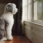 An F1 Standard Sheepadoodle looking out of a window
