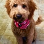 Mini F1 Goldendoodle