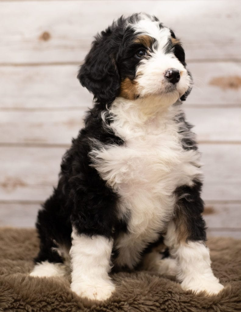Another great picture of Ibsy, a Bernedoodles puppy