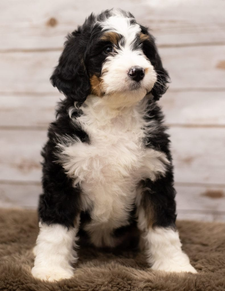 Ibsy came from Kiaya and Bentley's litter of F1 Bernedoodles