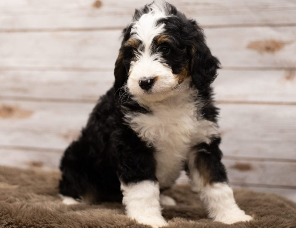 Ibsy is an F1 Bernedoodle that should have  and is currently living in Tennessee