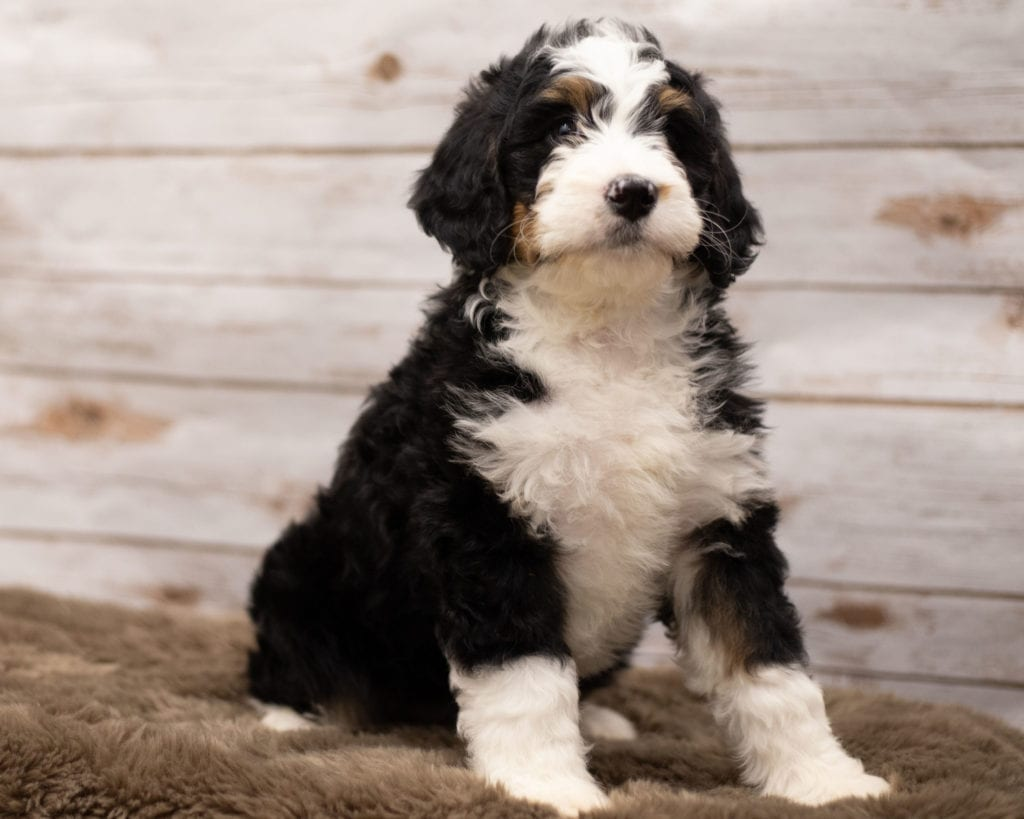 A picture of a Ibsy, one of our Standard Bernedoodles puppies that went to their home in Tennessee