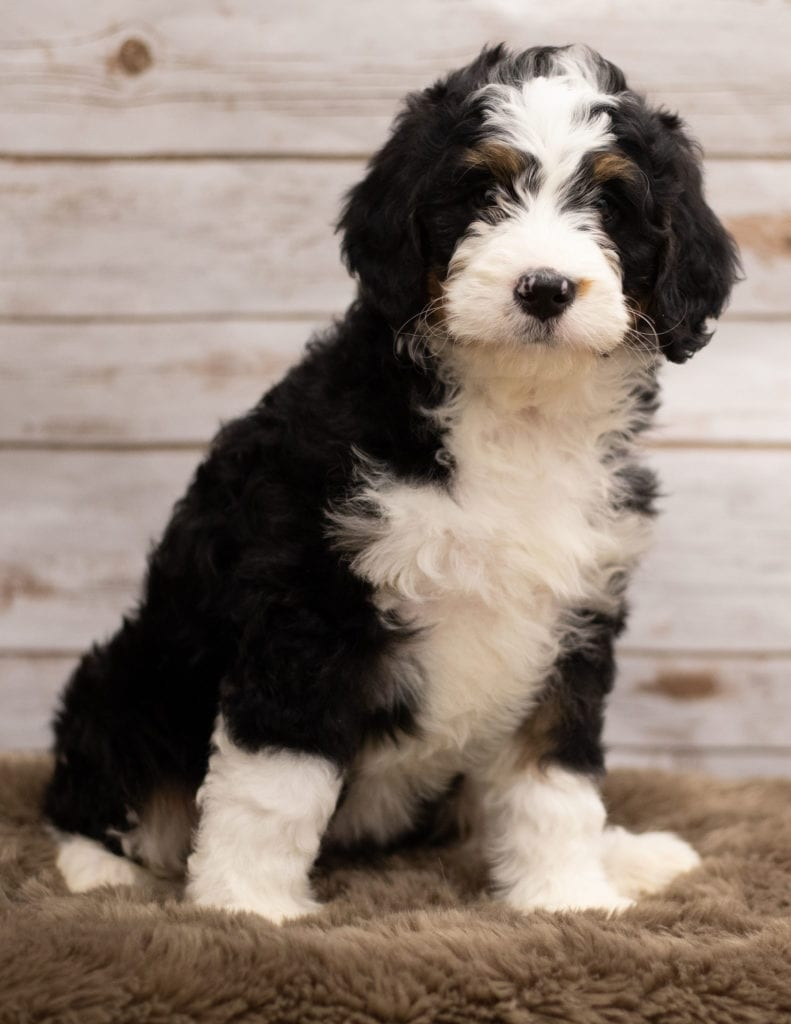 Ibsy was born on 12/12/2018 and is a Tennessee Bernedoodle