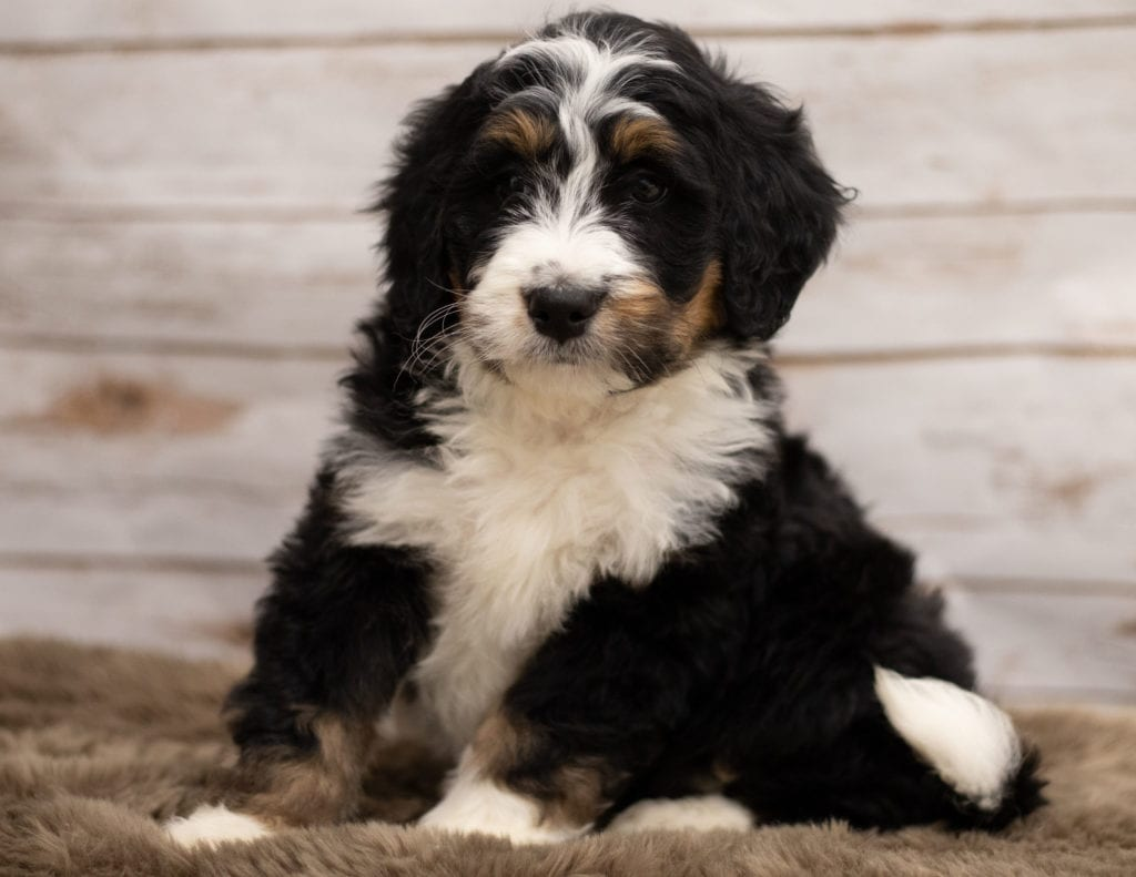 A picture of a Icon, one of our Standard Bernedoodles for sale