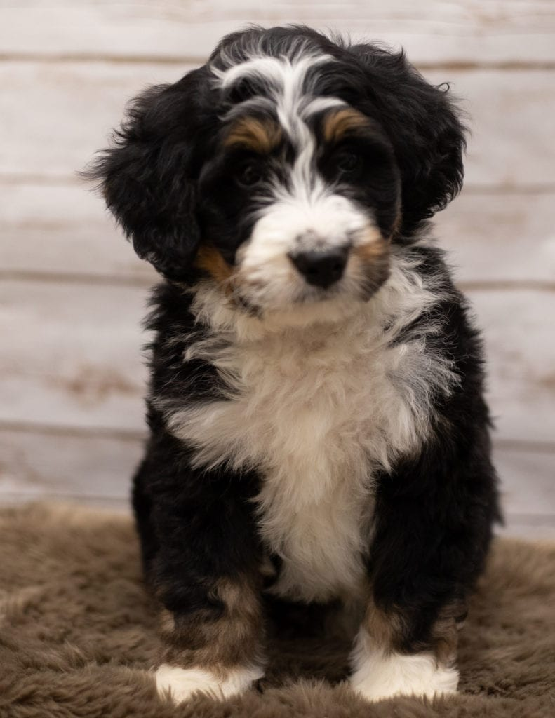 Icon came from Kiaya and Bentley's litter of F1 Bernedoodles