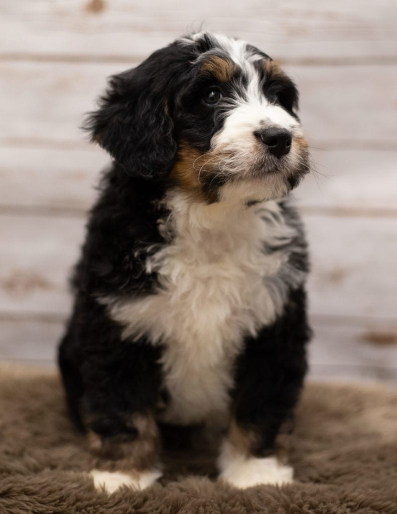 "Icon is an F1 Bernedoodle that will be hypoallergenic. Read more about what a dog being hypoallergenic means on our latest blog post, ""The New Breed Everyone Seems to Want"""