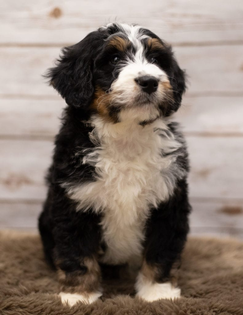 A picture of a Icon, one of our Standard Bernedoodles puppies