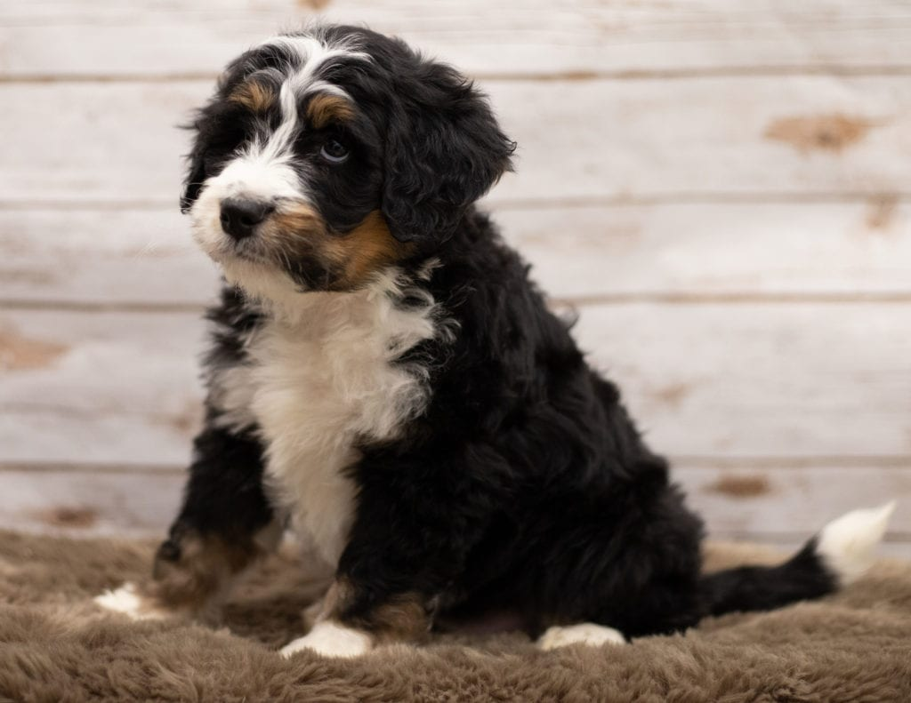 Another great picture of Icon, a Bernedoodles puppy
