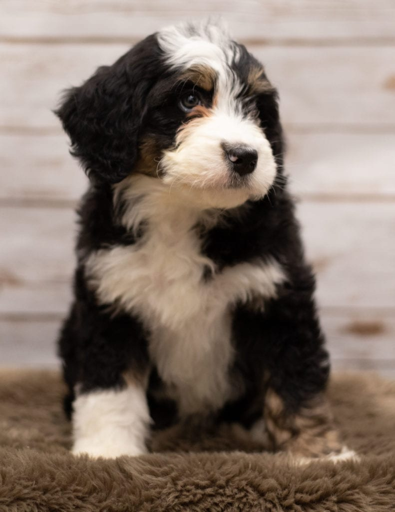 A picture of a Ivy, one of our Standard Bernedoodles for sale