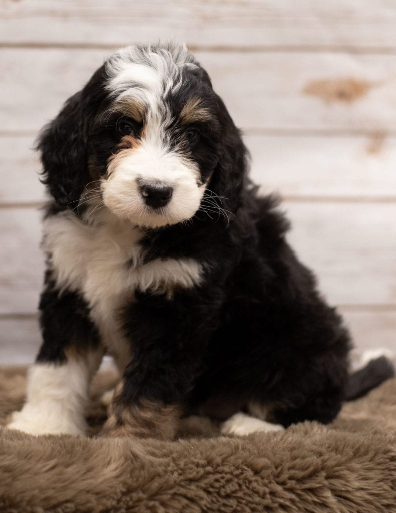 Ivy came from Kiaya and Bentley's litter of F1 Bernedoodles