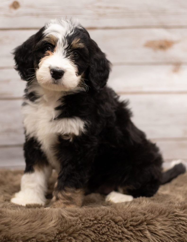 "Ivy is an F1 Bernedoodle that will be hypoallergenic. Read more about what a dog being hypoallergenic means on our latest blog post, ""The New Breed Everyone Seems to Want"""