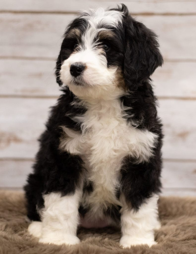 A picture of a Izzy, one of our Standard Bernedoodles puppies that went to their home in Iowa