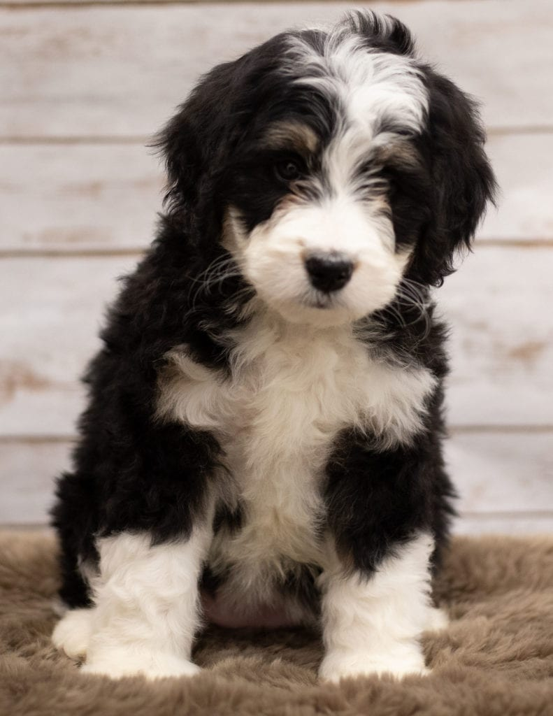 Izzy is an F1 Bernedoodle that should have  and is currently living in Iowa