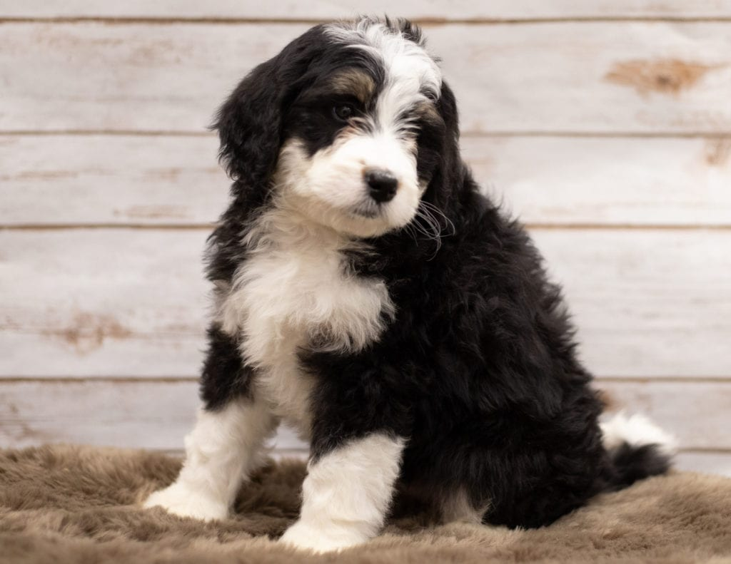 Another great picture of Izzy, a Bernedoodles puppy