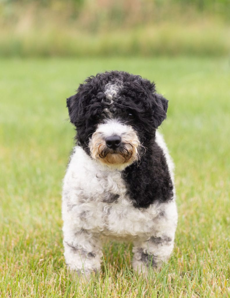 Mini Sheepadoodle Puppies For Sale | Quality Sheepadoodle Breeder