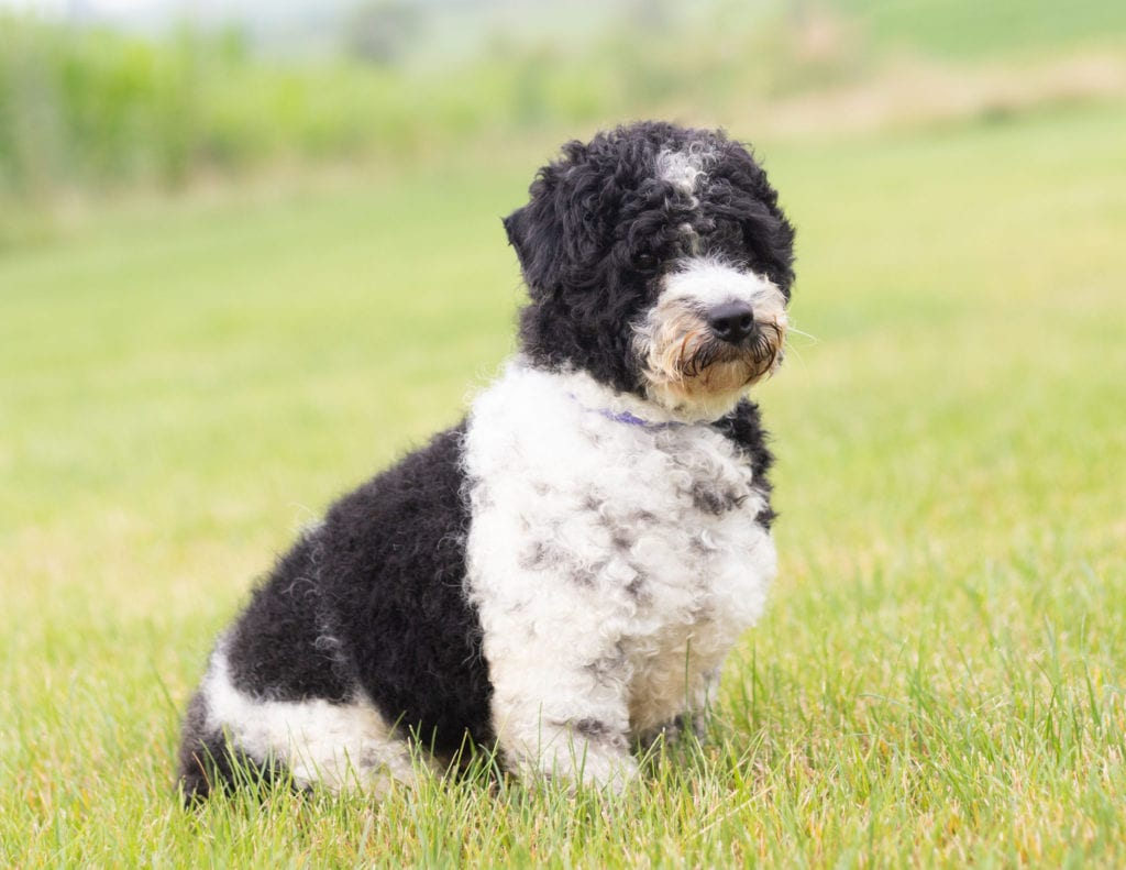 River is an  Poodle and a father here at Poodles 2 Doodles, Sheepadoodle and Bernedoodle breeder from Iowa