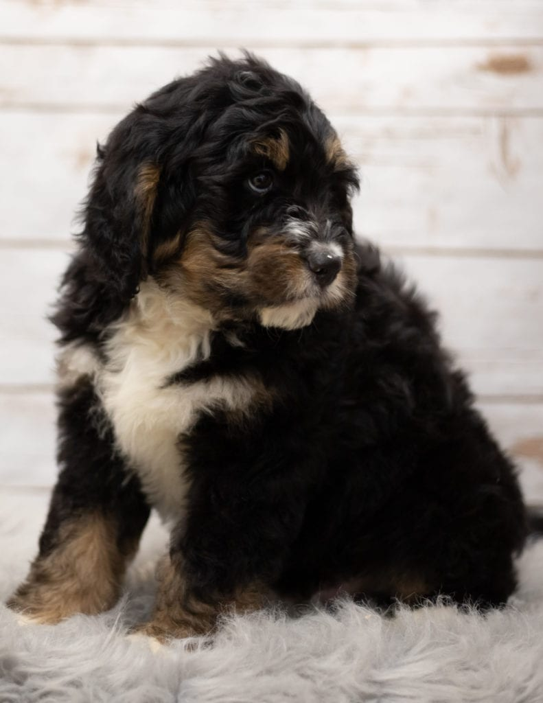 Iggy came from Kiaya and Bentley's litter of F1 Bernedoodles