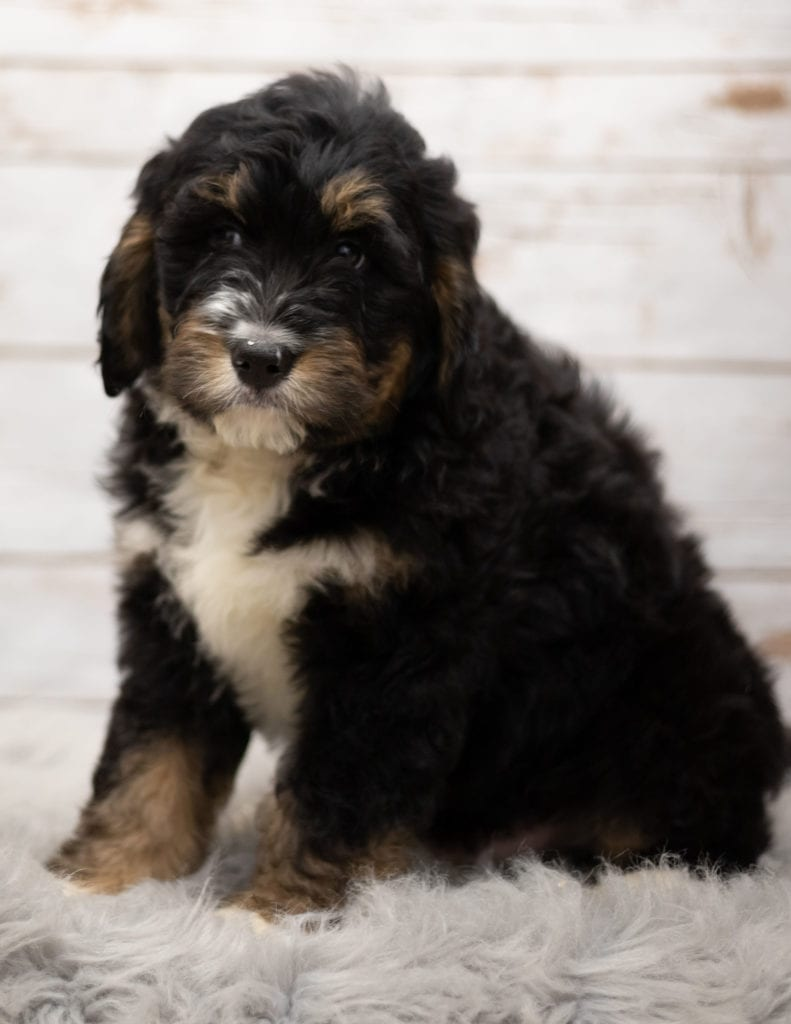 Iggy is an F1 Bernedoodle that should have  and is currently living in Missouri