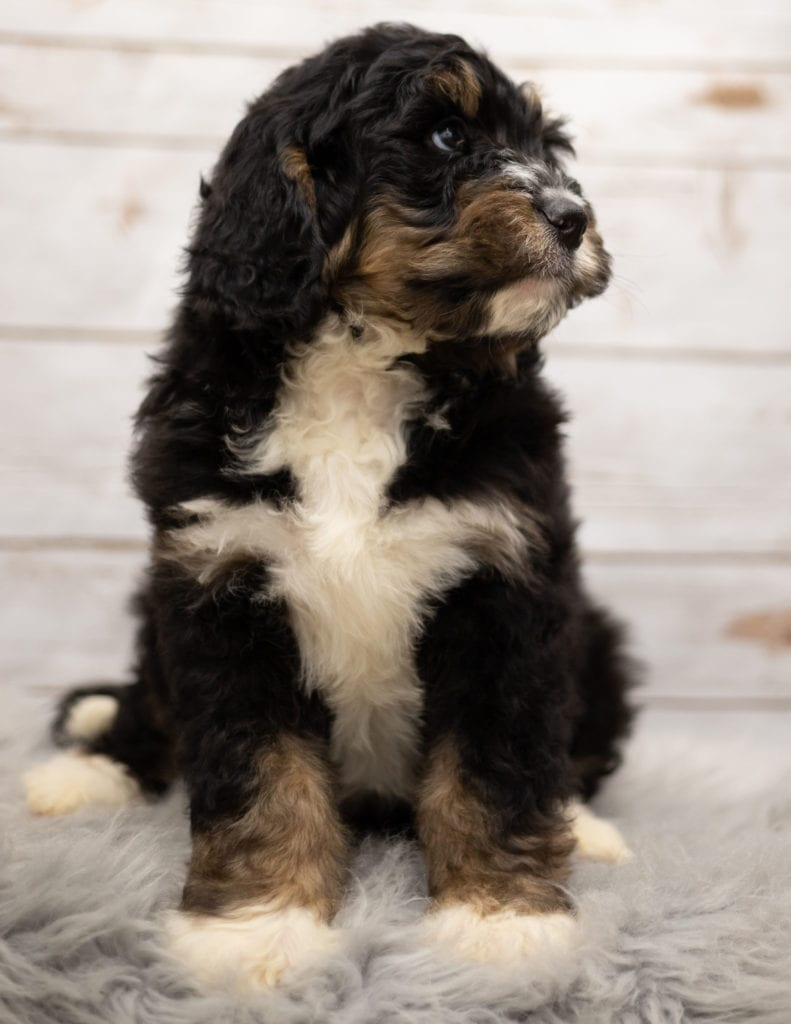 A picture of a Iggy, one of our Standard Bernedoodles puppies that went to their home in Missouri