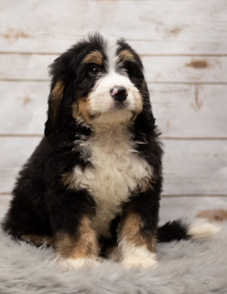 A picture of a Ink, one of our Standard Bernedoodles puppies that went to their home in Iowa