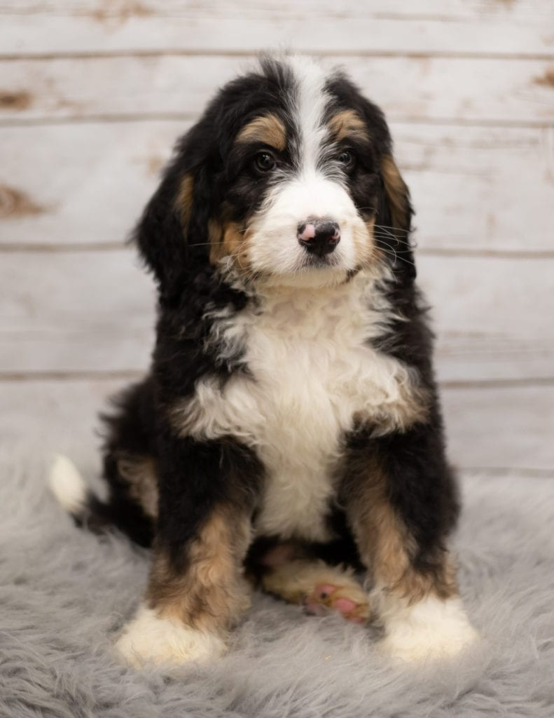 Ink is an F1 Bernedoodle that should have  and is currently living in Iowa