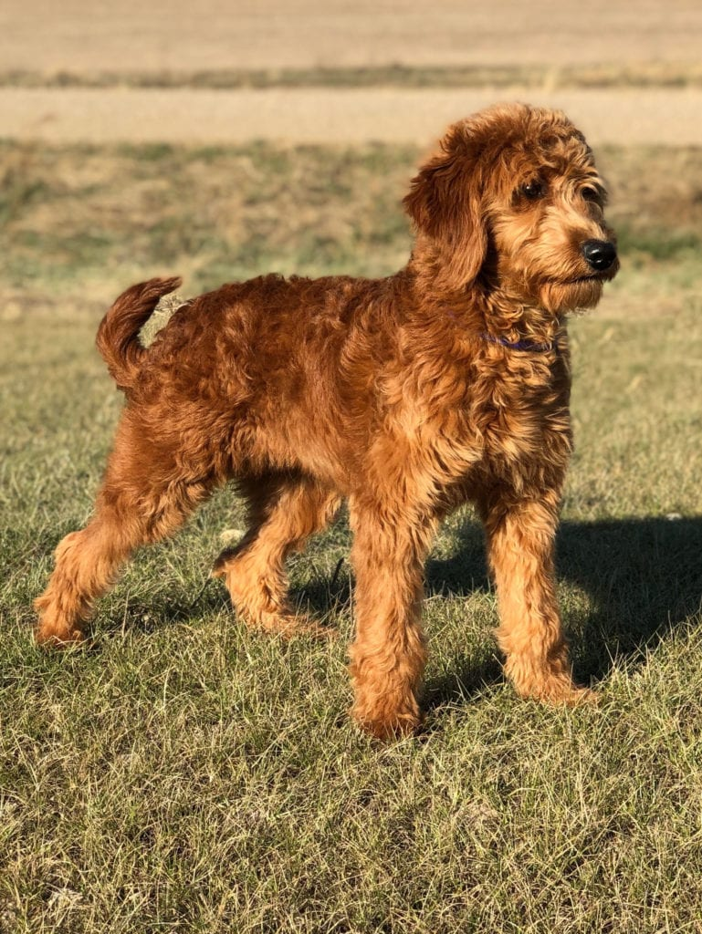 Dark red mini goldendoodle