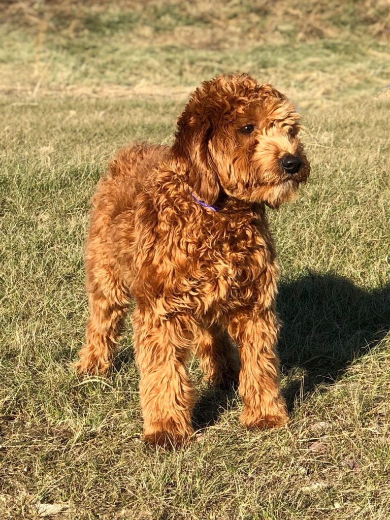 Mini Health Tested Goldendoodle