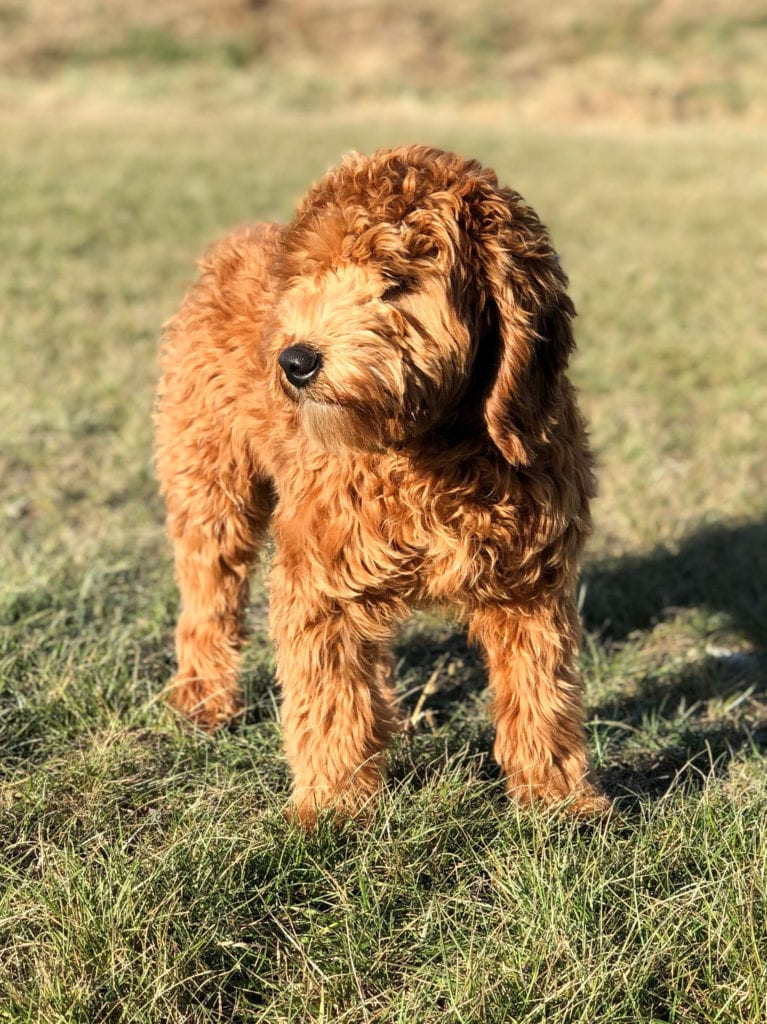 Hypoallergenic Red Mini Goldendoodle