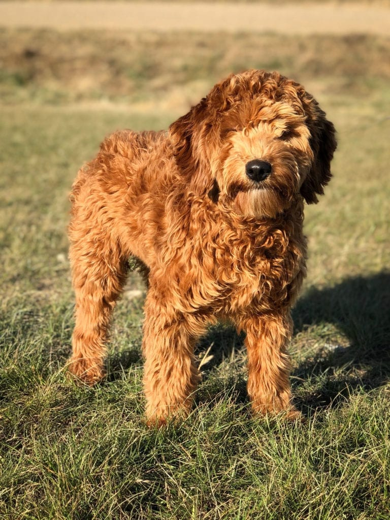 F1 Mini Red Goldendoodle