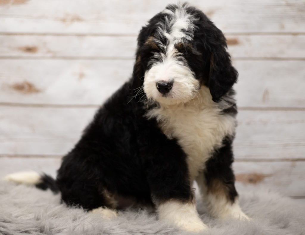Indi is an F1 Bernedoodle that should have  and is currently living in Nebraska