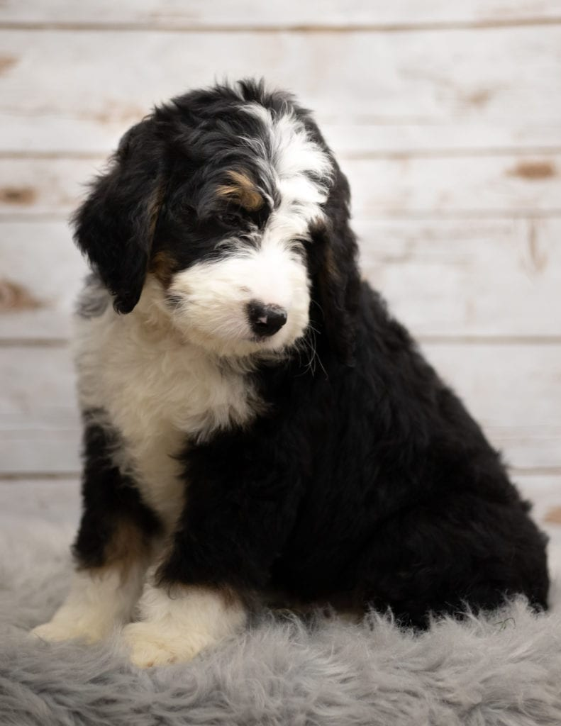 A picture of a Indi, one of our Standard Bernedoodles puppies that went to their home in Nebraska