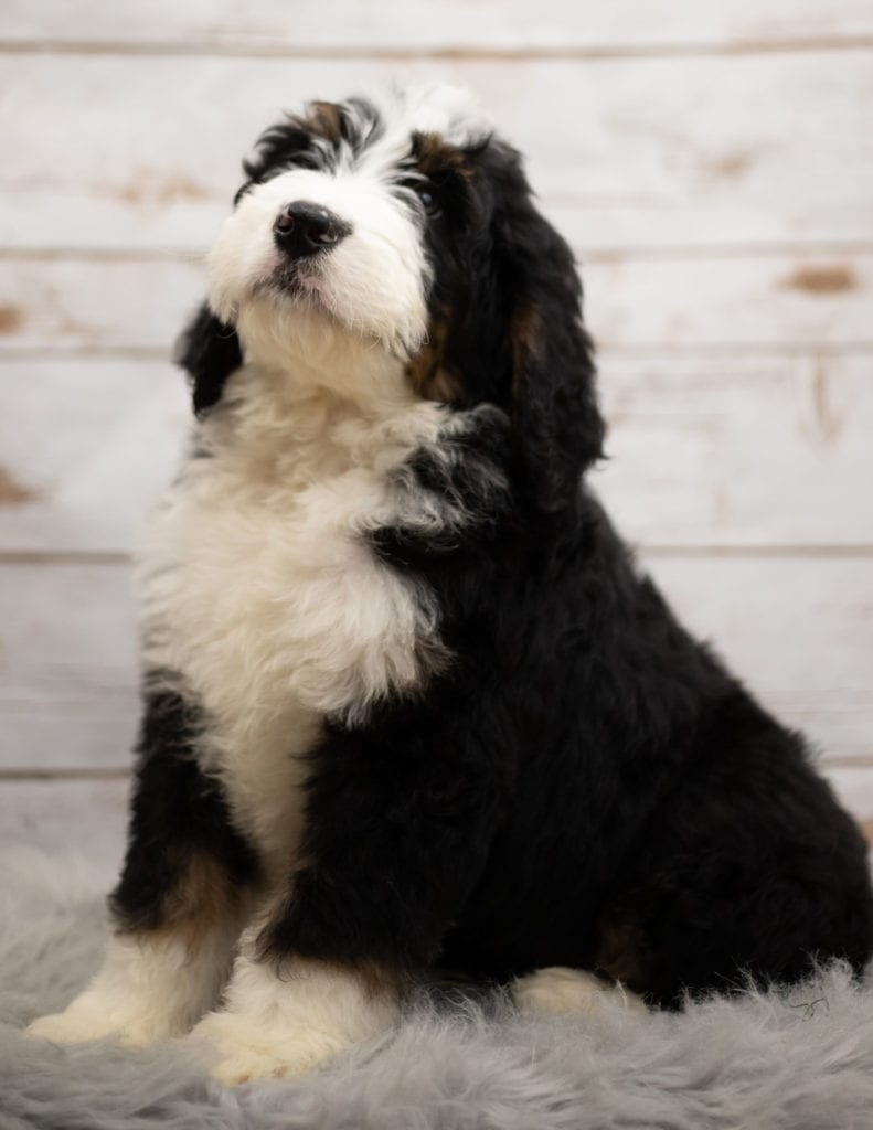 Indi was born on 12/12/2018 and is a Nebraska Bernedoodle
