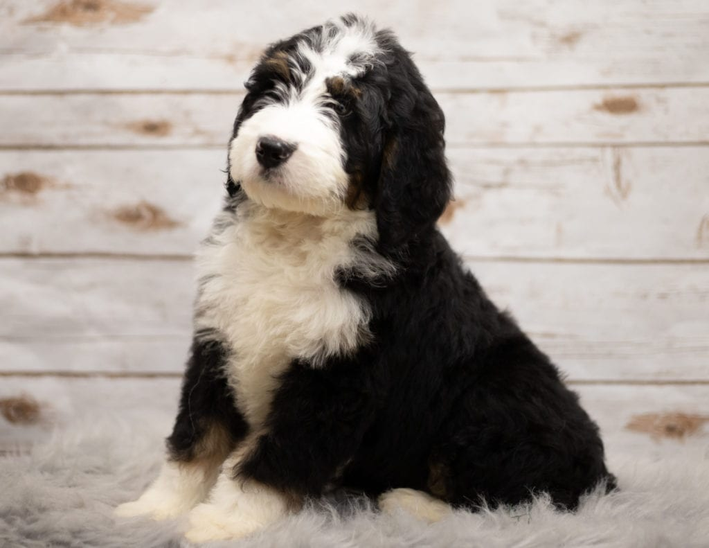 Another great picture of Indi, a Bernedoodles puppy