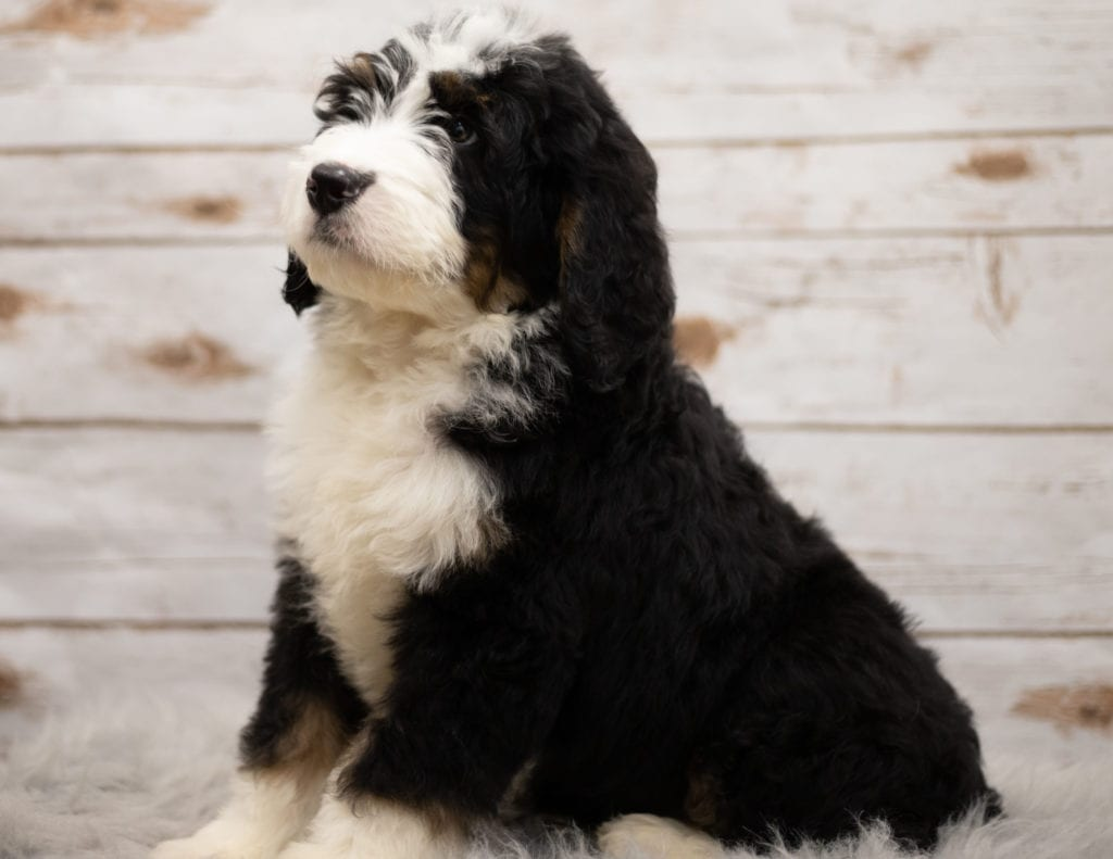Indi came from Kiaya and Bentley's litter of F1 Bernedoodles