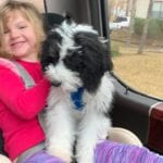 Mini Sheepadoodle Puppy in Texas