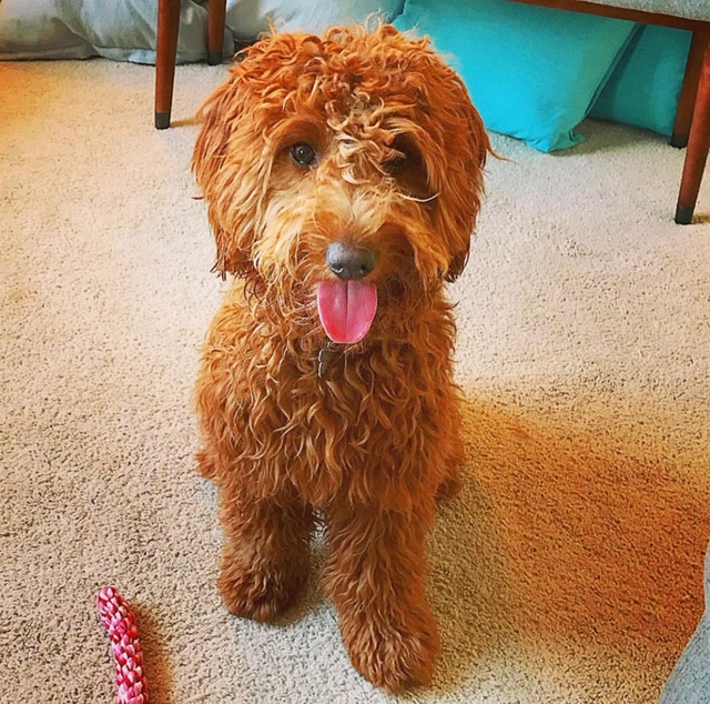 A Mini Goldendoodle of ours posing for tongue out Tuesday
