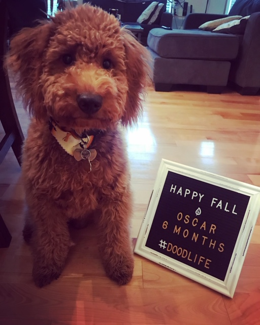 Mini Goldendoodle welcoming in new human