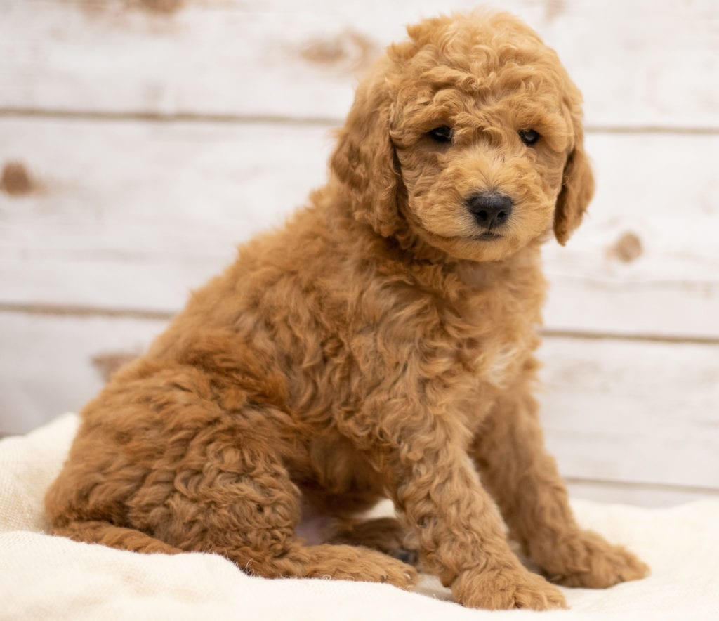 Kane came from Tatum and Teddy's litter of F2B Goldendoodles