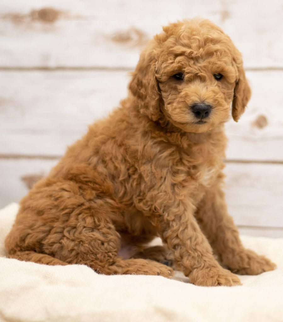A picture of a Kane, one of our Mini Goldendoodles puppies that went to their home in Kansas