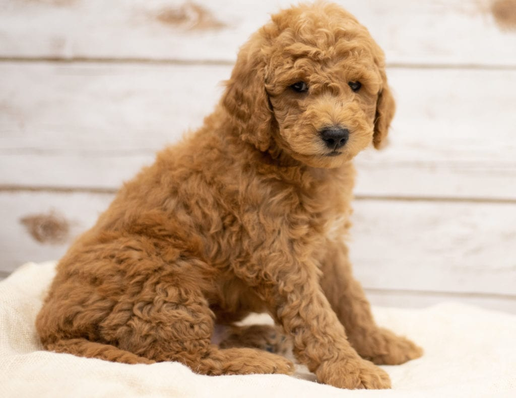 Another great picture of Kane, a Goldendoodles puppy