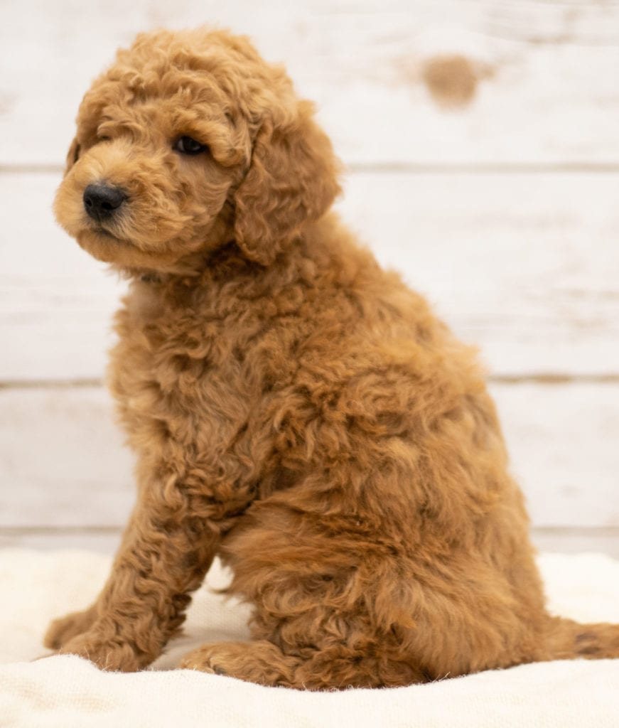 Kane is an F2B Goldendoodle that should have red and white abstract markings  and is currently living in Kansas