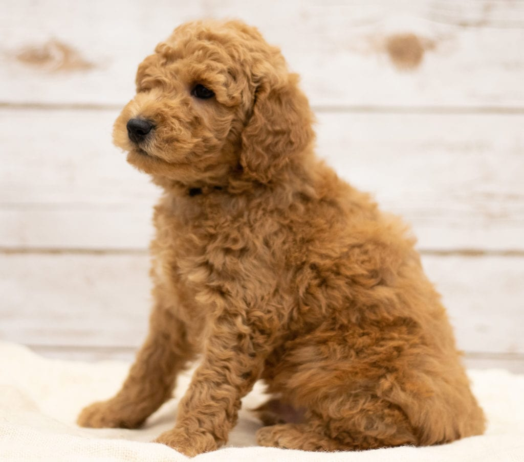 Kane was born on 01/04/2019 and is a Kansas Goldendoodle
