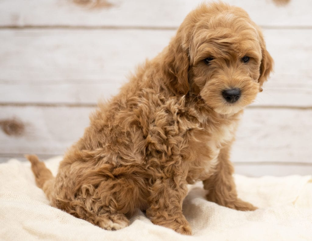 Karel was born on 01/04/2019 and is a Virginia Goldendoodle